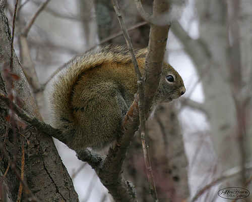 redsquirel.jpg (137998 bytes)